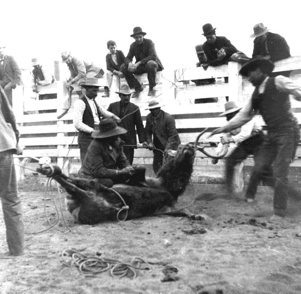 Tule Elk - rounding up and tying, sawing off antlers