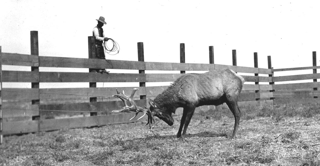 Bull Elk in Corral Button Willow